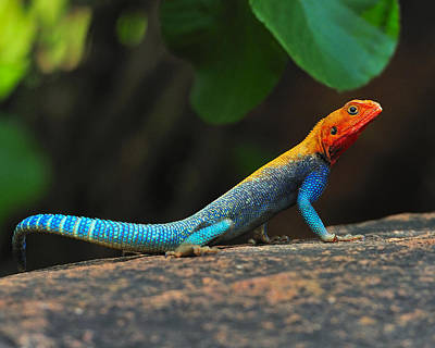 Agama Photograph - Red-headed Agama by Tony Beck