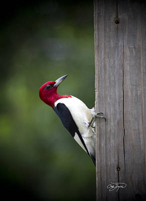 Red Headed Woodpecker Hdr - Artist Cris Hayes Art Print
