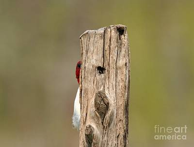 Photograph - Red-headed Woodpecker by Jack R Brock