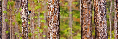 Photograph - Red Headed Woodpecker On The Pine Savanna by Bob Decker