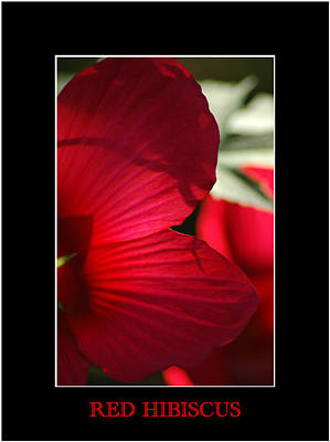Photograph - Red Hibiscus 2 by David Weeks
