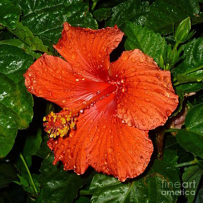 Art Print featuring the photograph Red Hibiscus After The Rain by Renee Trenholm