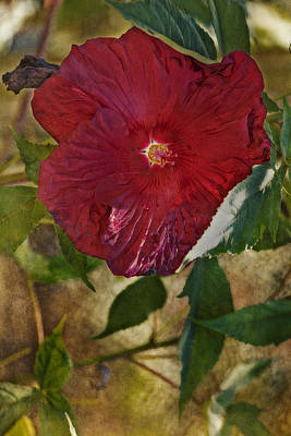 Red Hibiscus Art Print by Bonnie Bruno