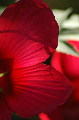 Photograph - Red Hibiscus by David Weeks