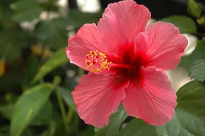 Red Hibiscus Art Print by Jerry McElroy