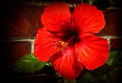 Photograph - Red Hibiscus by Milena Ilieva