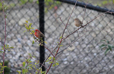 Photograph - Red House Finch by Donna L Munro