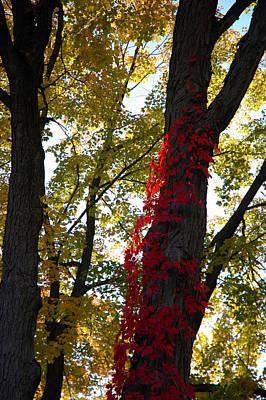 Ivy Photograph - Red Ivy Climb by LeeAnn McLaneGoetz McLaneGoetzStudioLLCcom