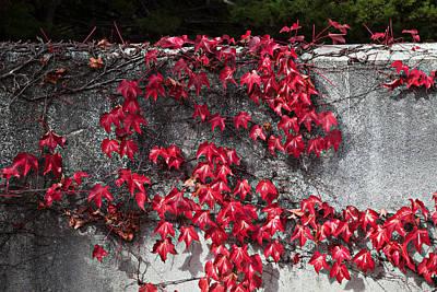 Red Ivy Art Print by John Wong