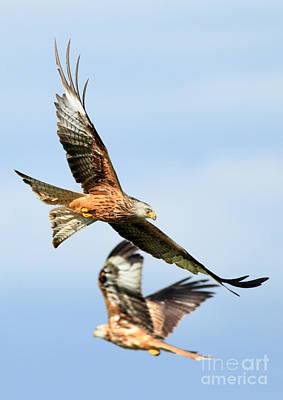 Red Kite Soaring High Art Print by Clare Scott