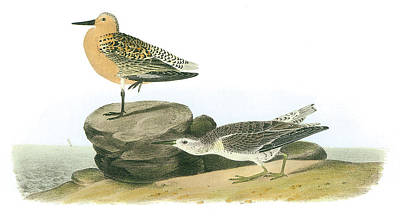 North Sea Painting - Red Knot by John James Audubon