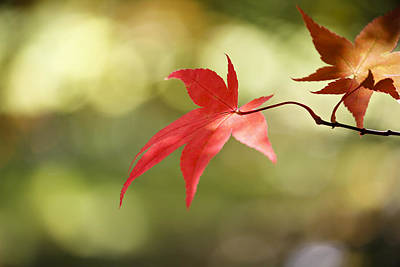 Photograph - Red Leaf. by Clare Bambers