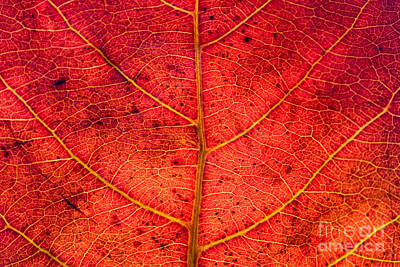 Red Leaf Texture Original by Jomphong Polprasart