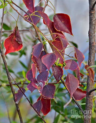Photograph - Red Leaves by Carol  Bradley