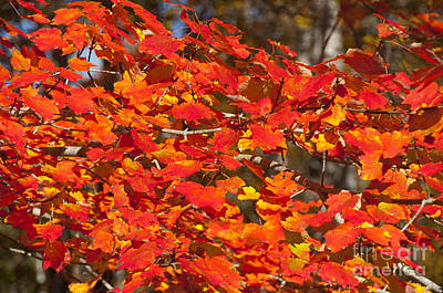 Red Leaves Art Print by Charles  Ridgway