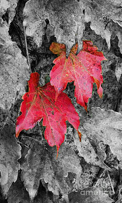Photograph - Red Leaves by Jim And Emily Bush