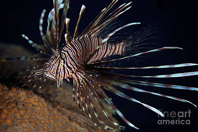 Abstract Utensils - Red Lionfish Flares Its Deadly Spines by Terry Moore