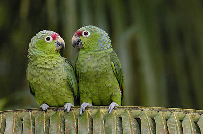 Red-lored Parrot Amazona Autumnalis Art Print by Pete Oxford