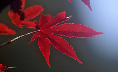 Photograph - Red Maple  by Douglas Pike