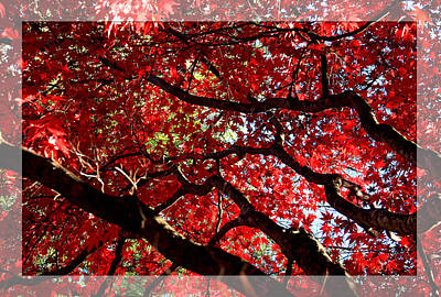 Photograph - Red Maple by Emanuel Tanjala