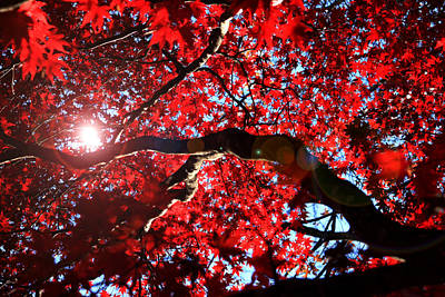 Photograph - Red Maple In Fall by Emanuel Tanjala