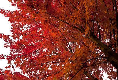 Red Maple Art Print by Kamil Swiatek