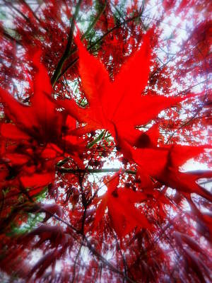 Photograph - Red Maple Leaves by Cindy Wright