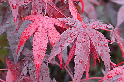 Chinese Red Maple Tree Photograph - Red Maple Leaves In Rain by Linda Larson
