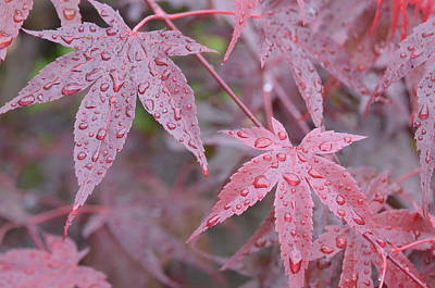 Chinese Red Maple Tree Photograph - Red Maple Leaves by Linda Larson