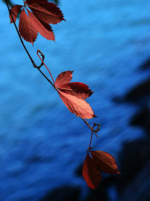 Photograph - Red Maple Leaves by Paul Ge