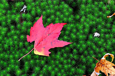 Photograph - Red Maple On Moss by Alan Lenk