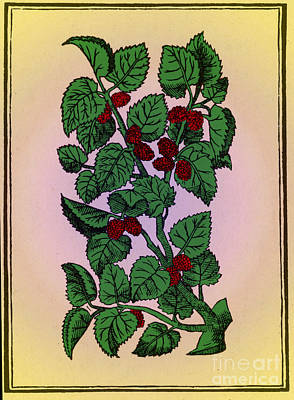 Red Mulberry Art Print by Science Source