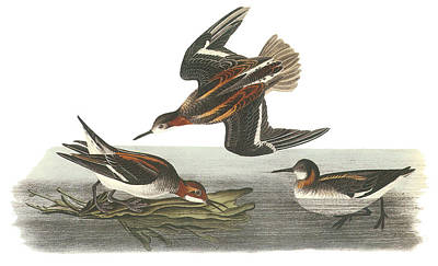 North Sea Painting - Red-necked Phalarope by John James Audubon