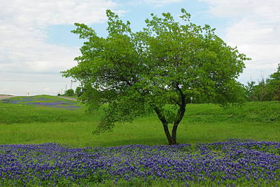 Photograph - Red Oak Amongst Bluebonnets by Robyn Stacey