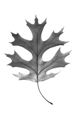 Photograph - Red Oak Leaf by Jason Smith