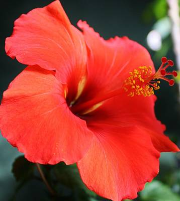 Photograph - Red Orange Hibiscus by Bruce Bley