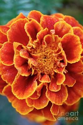 Red-orange Marigold Art Print