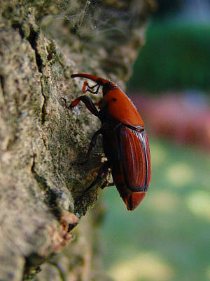 Photograph - Red Palm Weevil by Alessandro Della Pietra
