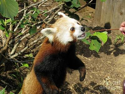Photograph - Red Panda Feeding Time by Ausra Huntington nee Paulauskaite