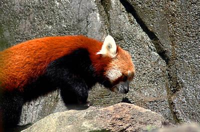 Photograph - Red Panda by LeeAnn McLaneGoetz McLaneGoetzStudioLLCcom