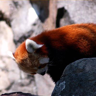 Photograph - Red Panda Lost Keys by LeeAnn McLaneGoetz McLaneGoetzStudioLLCcom