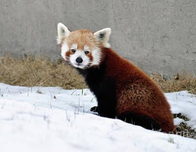 Photograph - Red Panda by Ronald Grogan