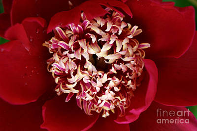 Digital Art - Red Peony Flowers Series 5 by Eva Kaufman
