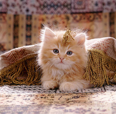 Animal Portraiture Photograph - Red Persian-cross Kitten by Jane Burton
