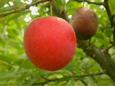 Organic Photograph - Red Plums by Lanjee Chee