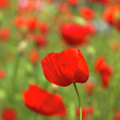 Close Focus Nature Scene Photograph - Red Poppies In Cornfield by Kees Smans