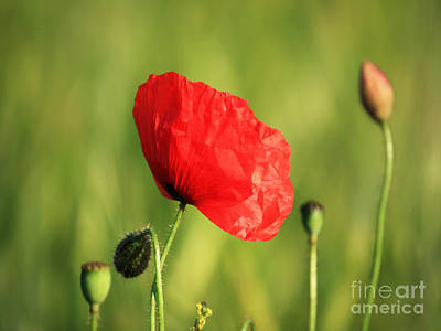 Red Poppy In Field Art Print by Pixel Chimp