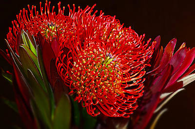 Red Protea Flower Art Print by Michelle Armstrong