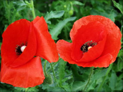 Photograph - Red Red Poppies by Kay Novy