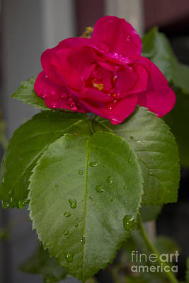 Photograph - Red Red Rose by Donna L Munro
